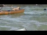 Умный пес спасает собак в каноэ